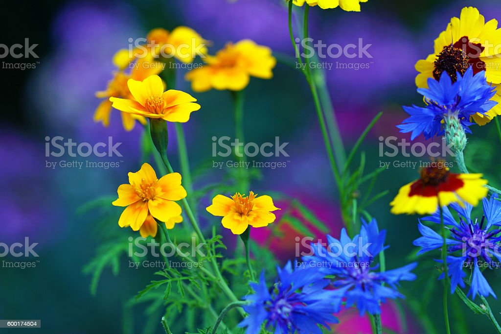 California poppies, tickseed, cornflowers and pink queen stock photo