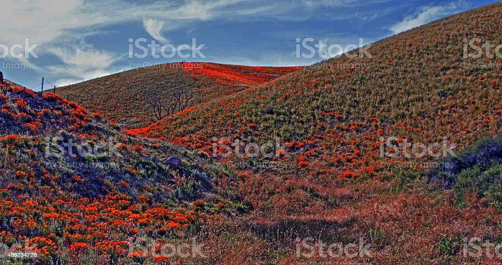 California Poppies under cirrus skies stock photo