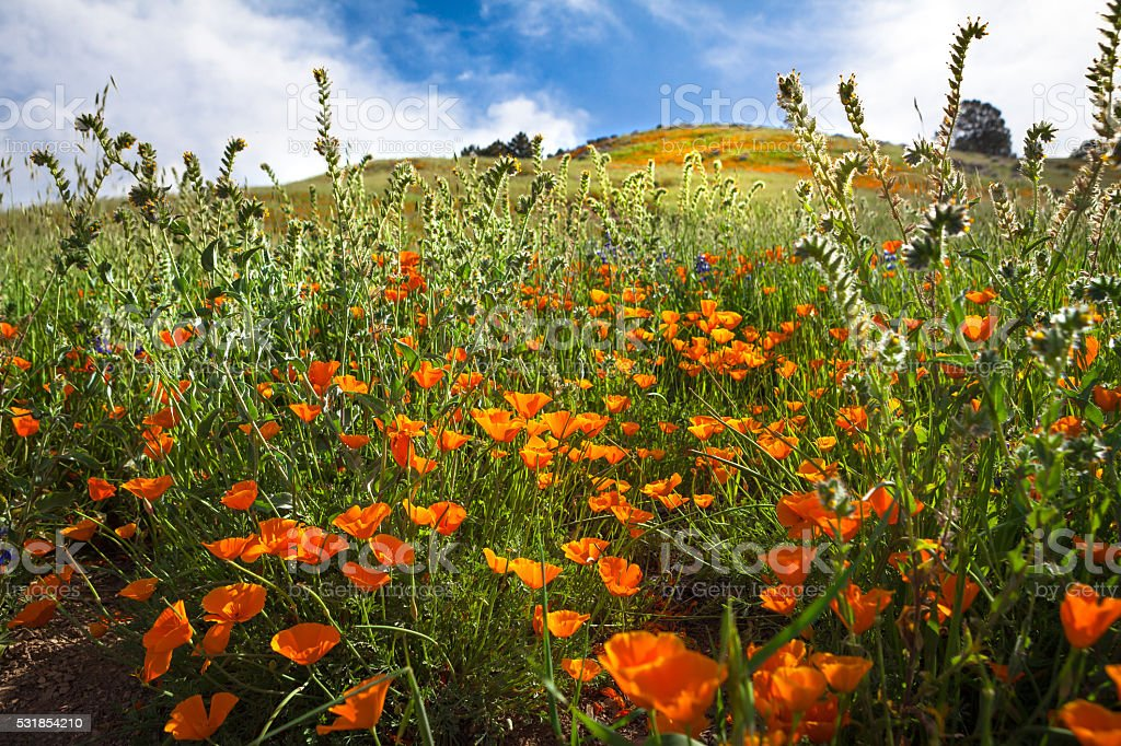 California Poppy Bloom Among Fiddleneck Flowers, Grass Mountain, Santa Barbara royalty-free stock photo