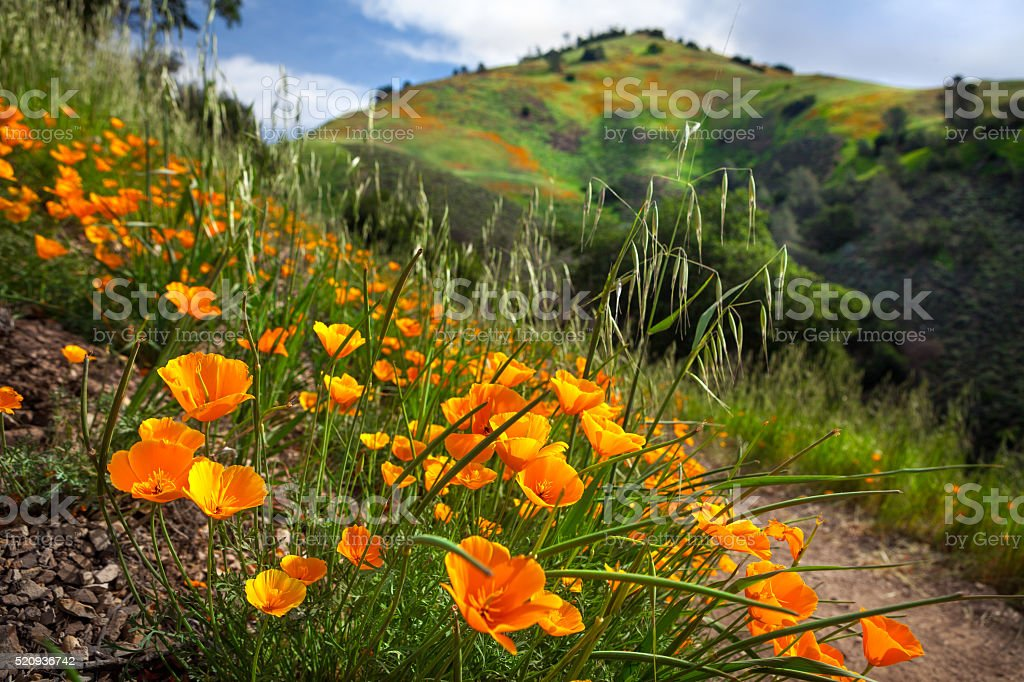 California Poppy Bloom On Grass Mountain Trail, Santa Barbara County stock photo