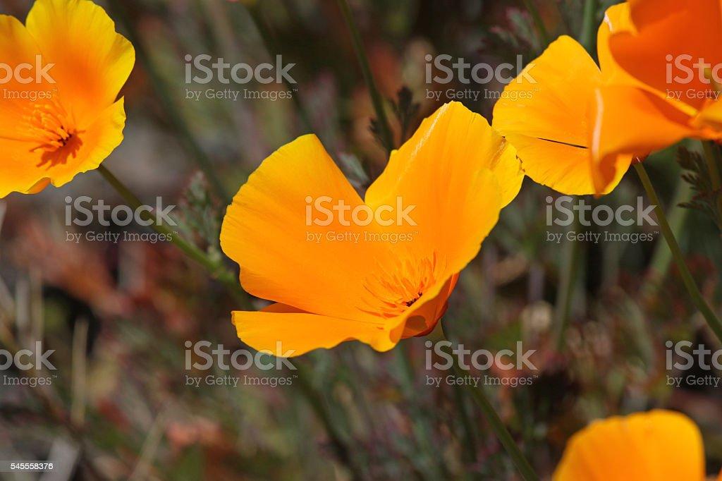 California Poppy Close-Up stock photo