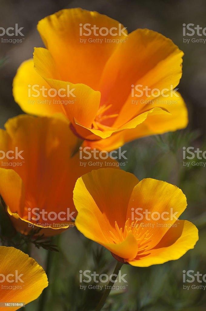 California poppy, Eschscholzia californica, orange flowers royalty-free stock photo