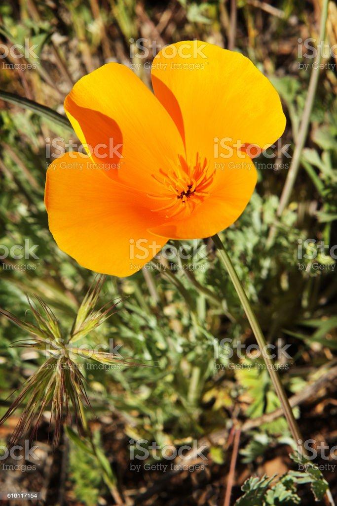 California Poppy Eschscholzia californica Wildflower stock photo