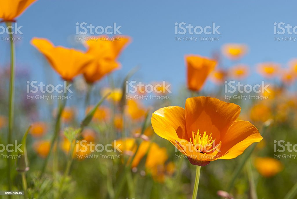 California Poppy Field stock photo