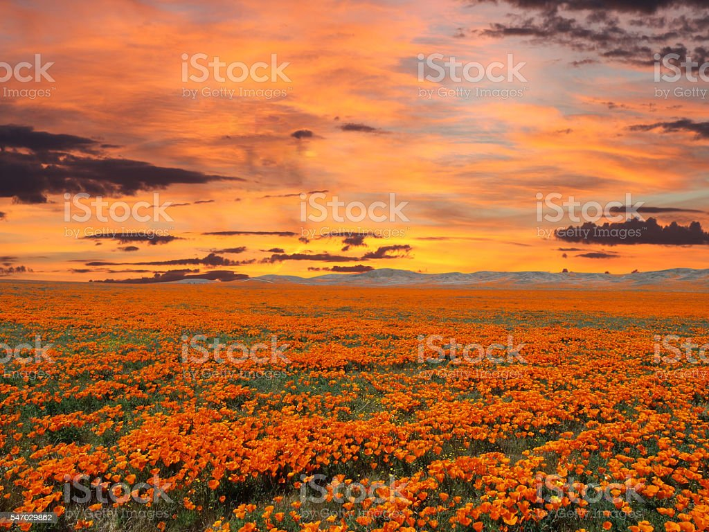 California Poppy Field With Sunrise Sky stock photo