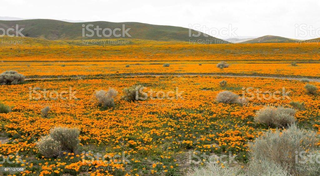 California Poppy Fields stock photo