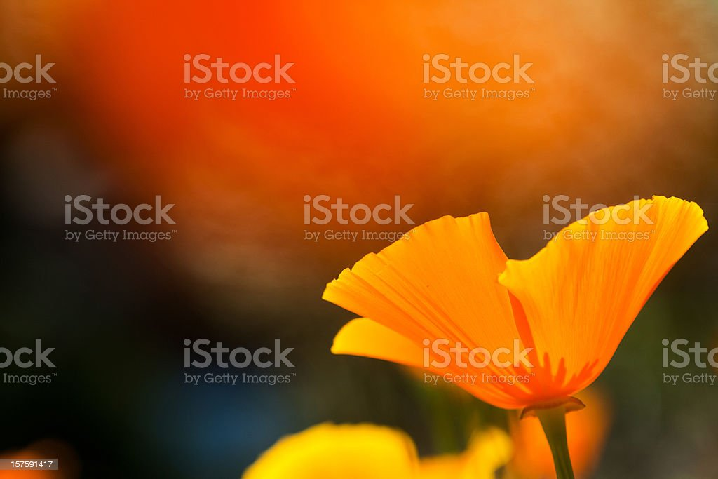 California Poppy royalty-free stock photo