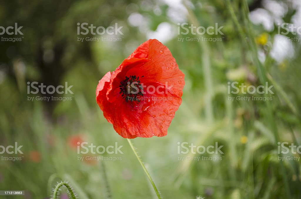 california poppy wild stock photo