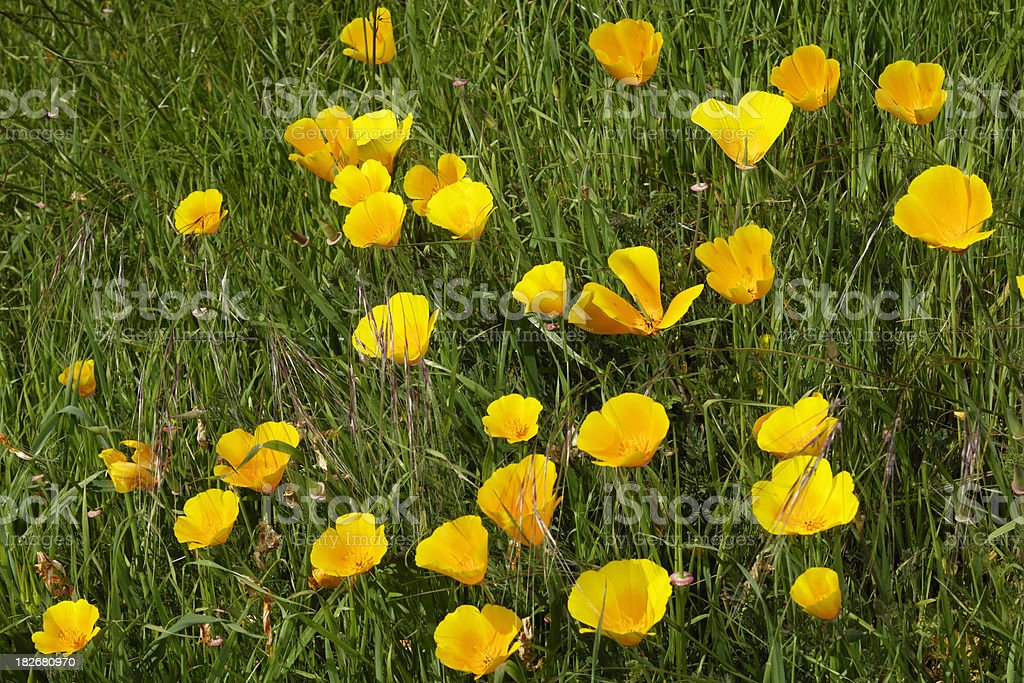 California Poppy Wildflowers Growing on Hillside royalty-free stock photo