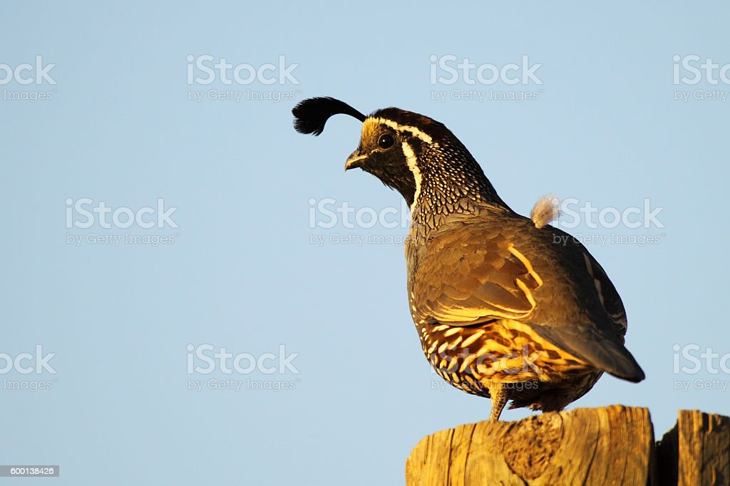 California Quail Leaning Out stock photo