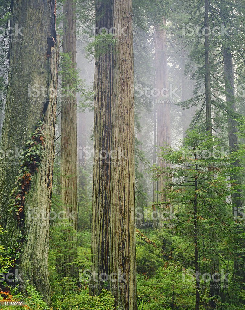 California Redwood Forest   (Pg) stock photo