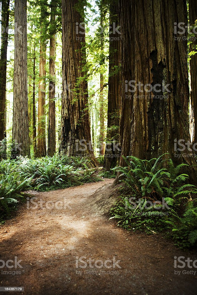 California redwood forest royalty-free stock photo