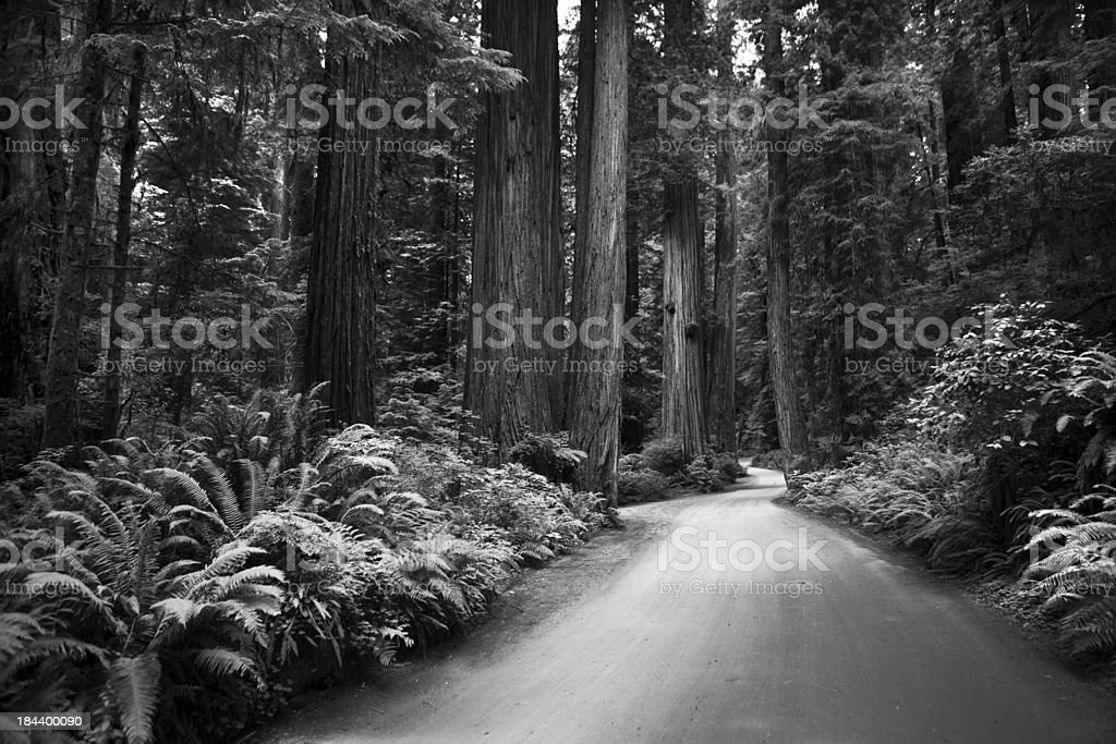 California redwood forest stock photo