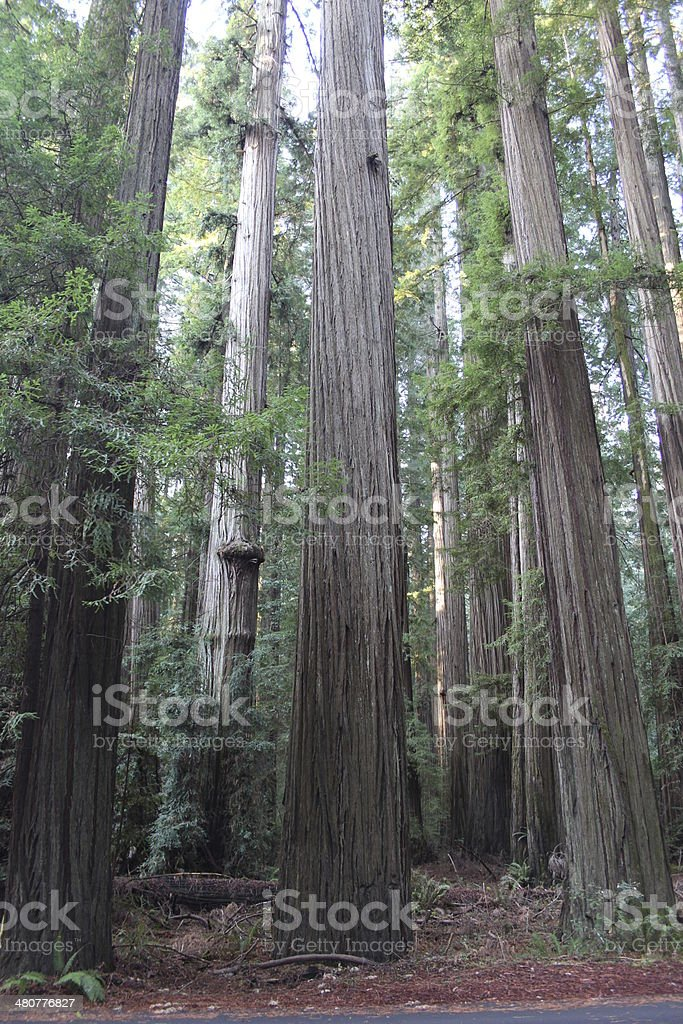 California Redwood Forest with Morning Light stock photo