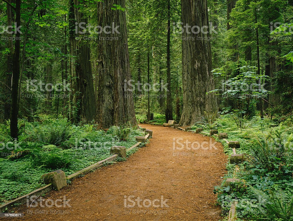 California Redwoods stock photo