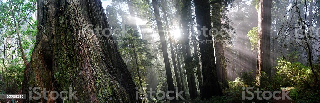 California Redwoods stock photo