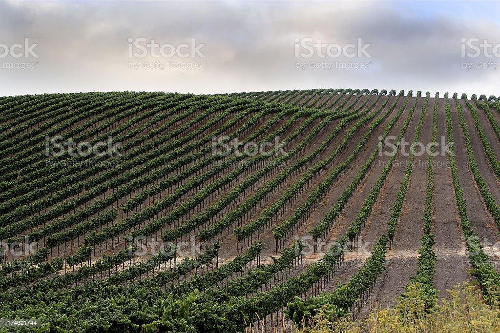 California: Rows of Wine Vines royalty-free stock photo