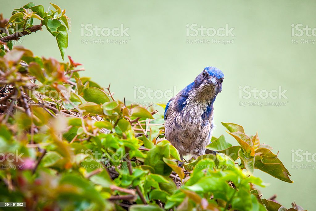 California Scrub Jay (Aphelocoma californica) Tilts Head Toward Camera royalty-free stock photo