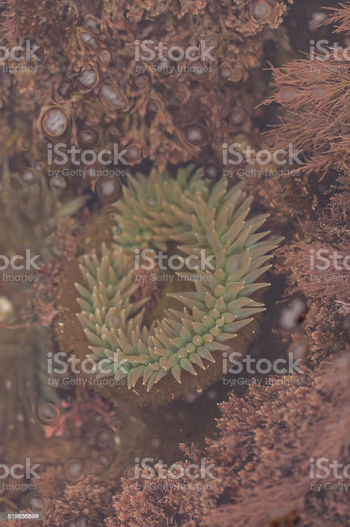California sea anemone, Anthopleura elegantissima stock photo