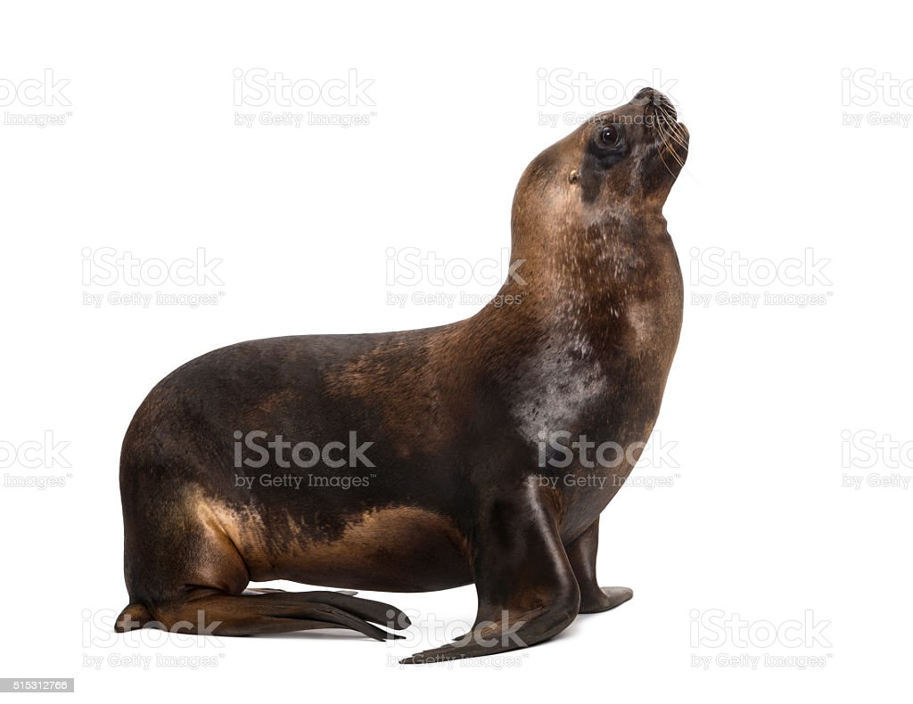 California Sea Lion, 17 years old, looking up stock photo