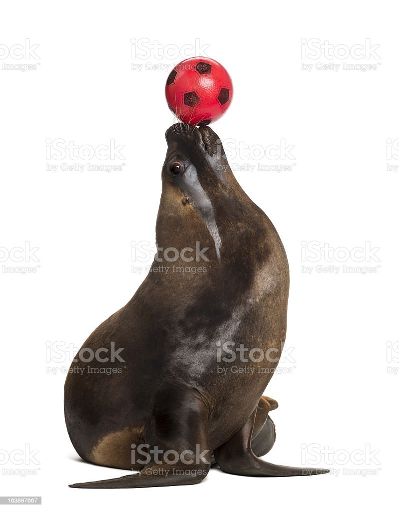 California Sea Lion, 17 years old, playing with ball stock photo