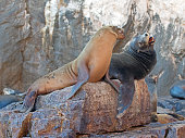 """California Sea Lion couple fighting on """"the Wolves Lair"""""""