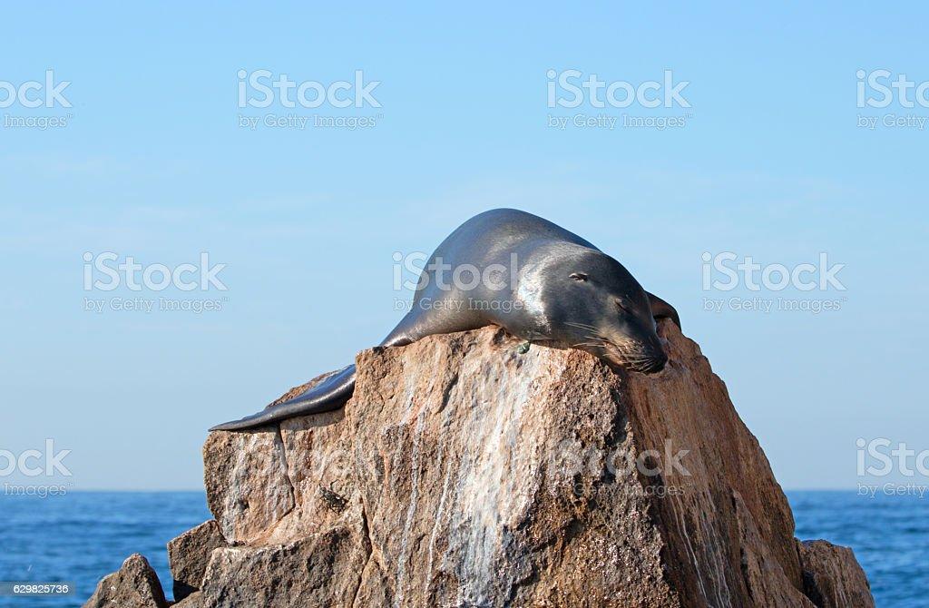 California Sea Lion draped over the Pinnacle rock stock photo