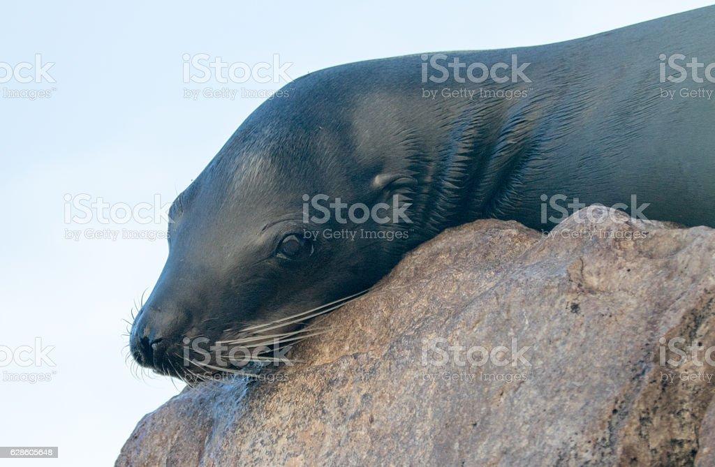 California Sea Lion in Cabo San Lucas in Baja Mexico stock photo