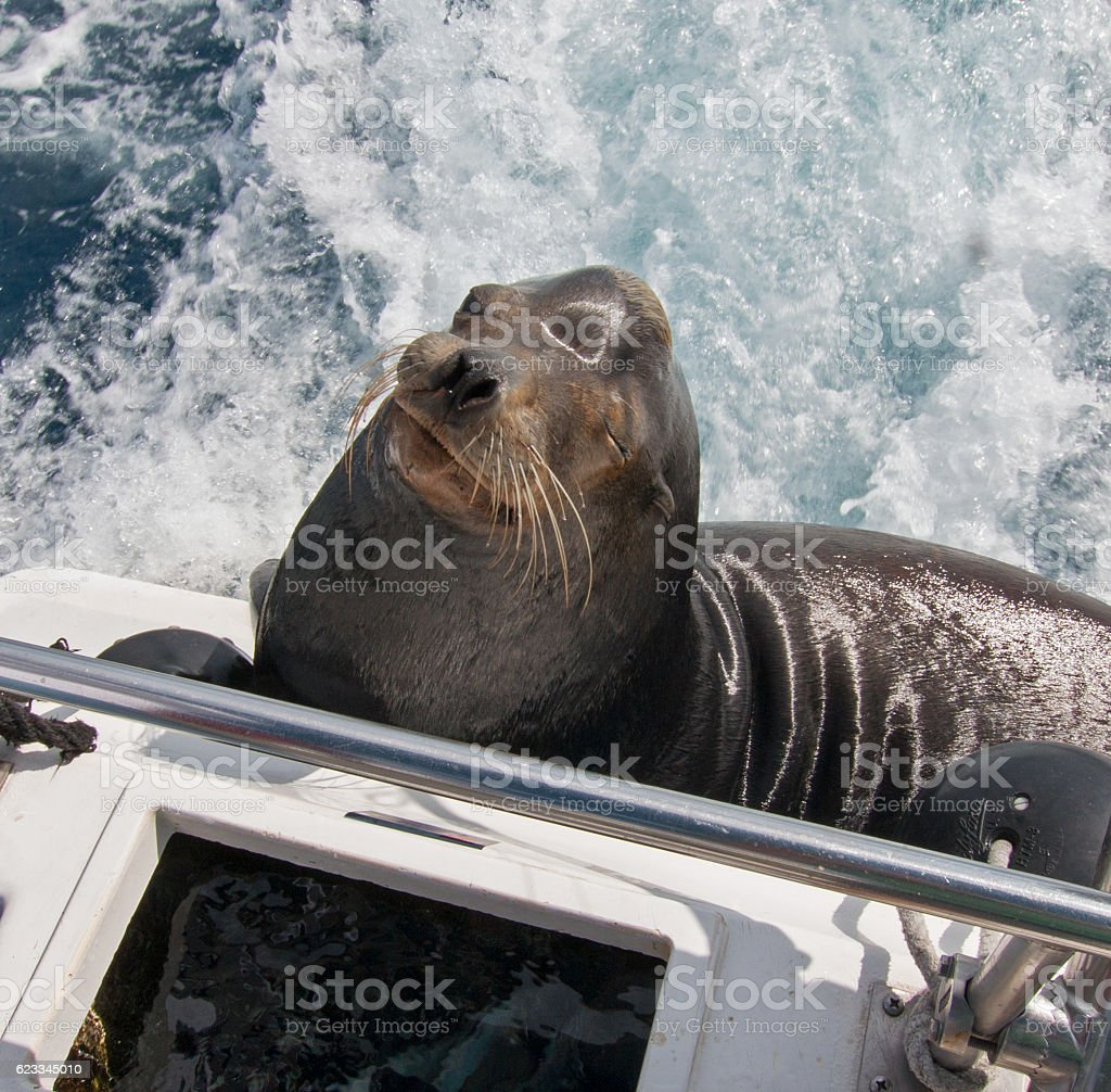 California Sea Lion on fishing boat in Cabo San Lucas stock photo