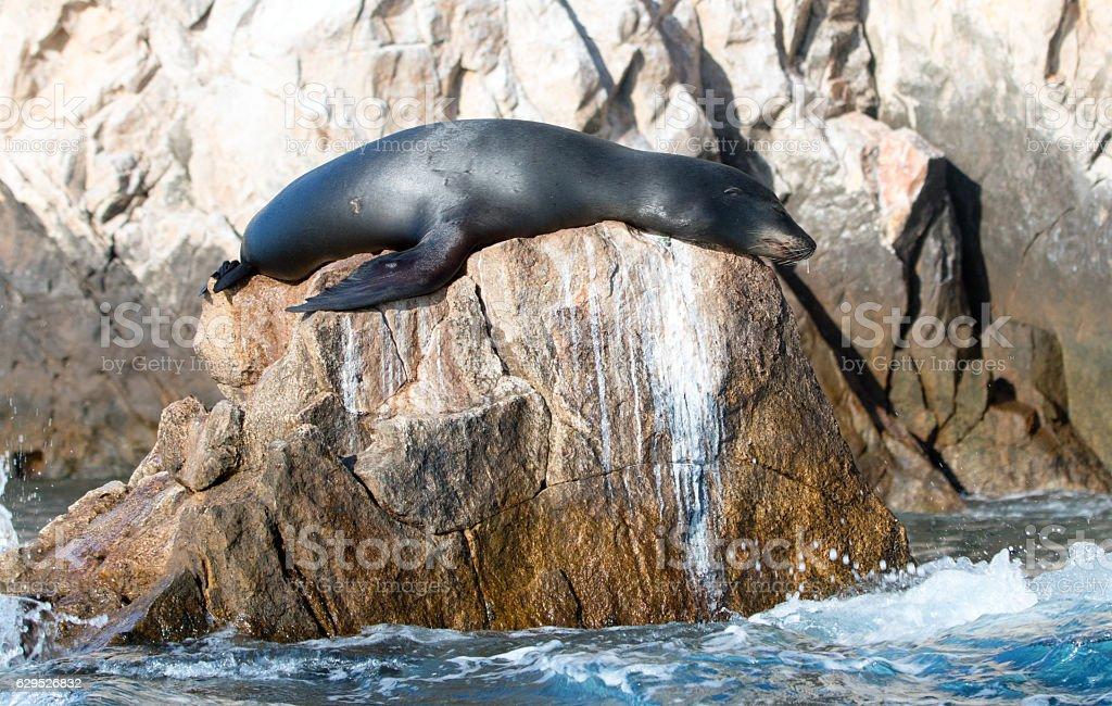California Sea Lion on Pinnacle rock at Lands End stock photo