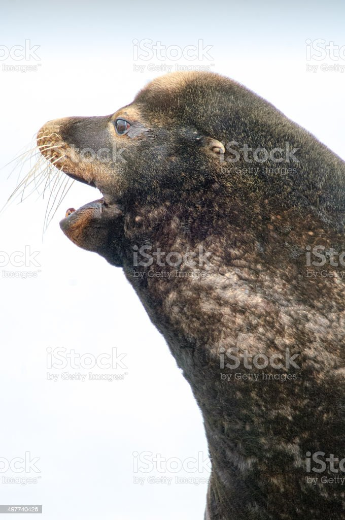 California Sea Lion (Zalophus californianus) stock photo