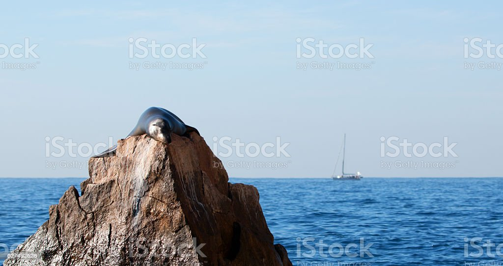 """California Sea Lion resting on """"The Pinnacle of Lands End"""" stock photo"""