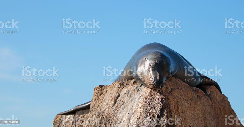 California Sea Lion sunning himself at Lands End stock photo