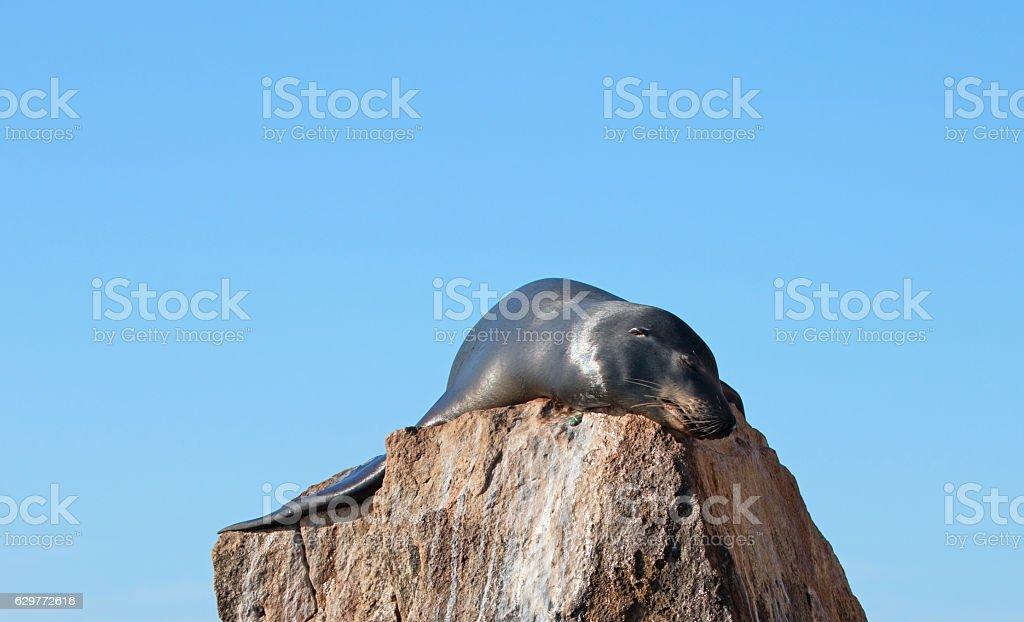 California Sea Lion sunning himself on Pinnacle rock stock photo