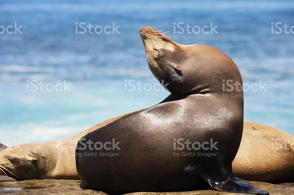 California Sea Lion Zalophus californianus stock photo