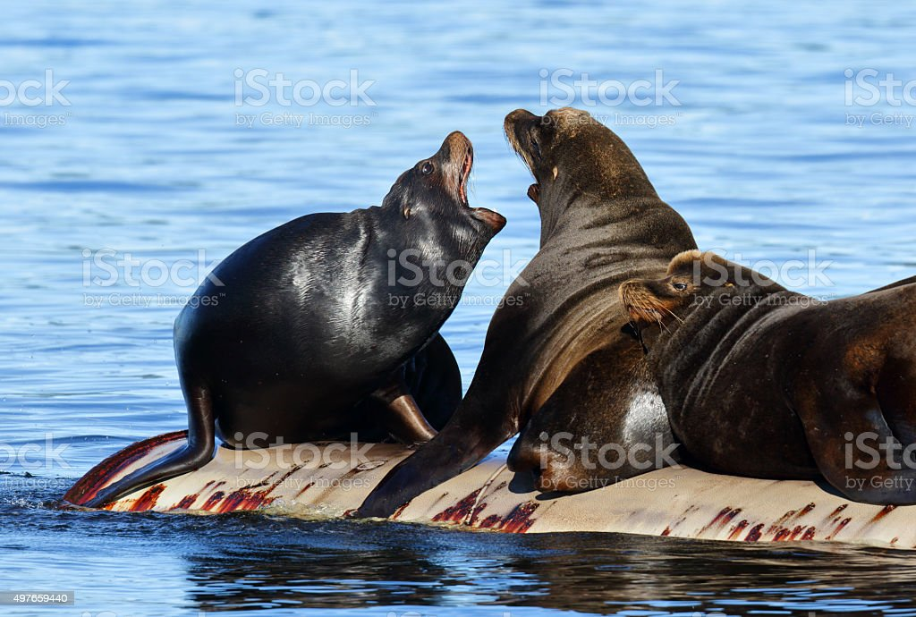 California Sea Lions Fighting- Canada stock photo