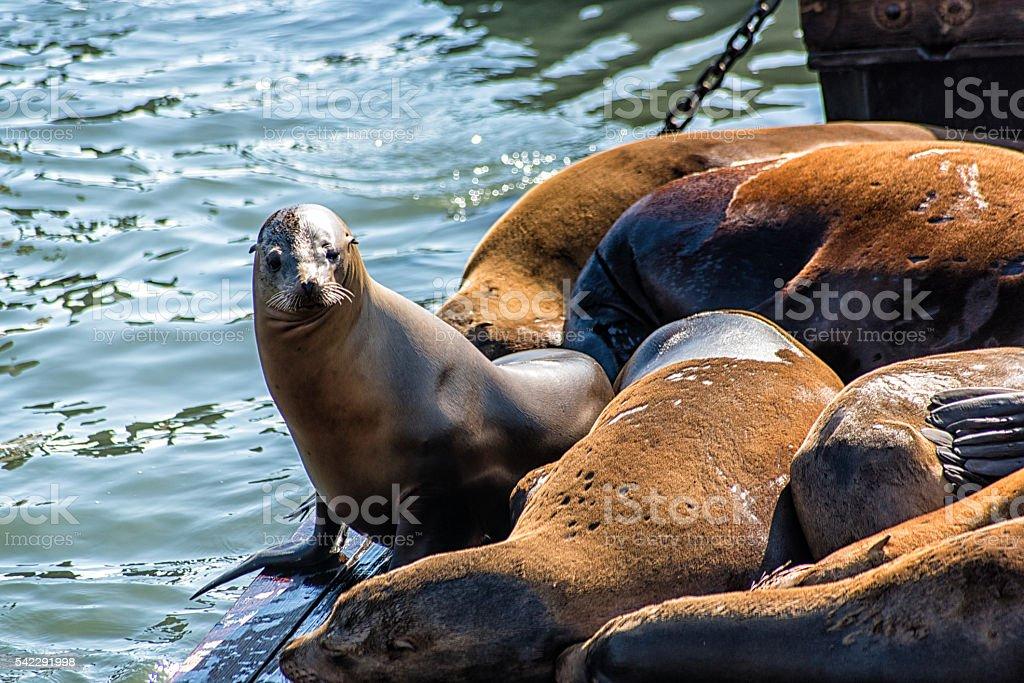 California Sea Lions (Zalophus californianus) on Pier 39, Fisher stock photo
