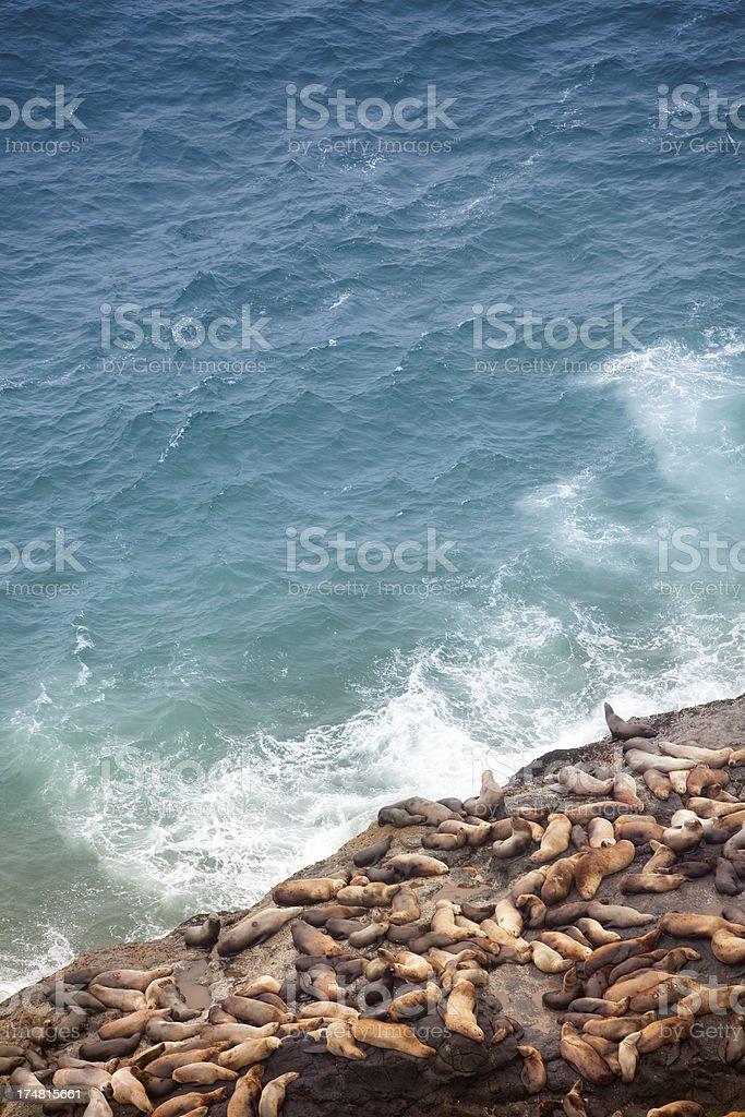 California Sea lions on The Oregon Coast royalty-free stock photo