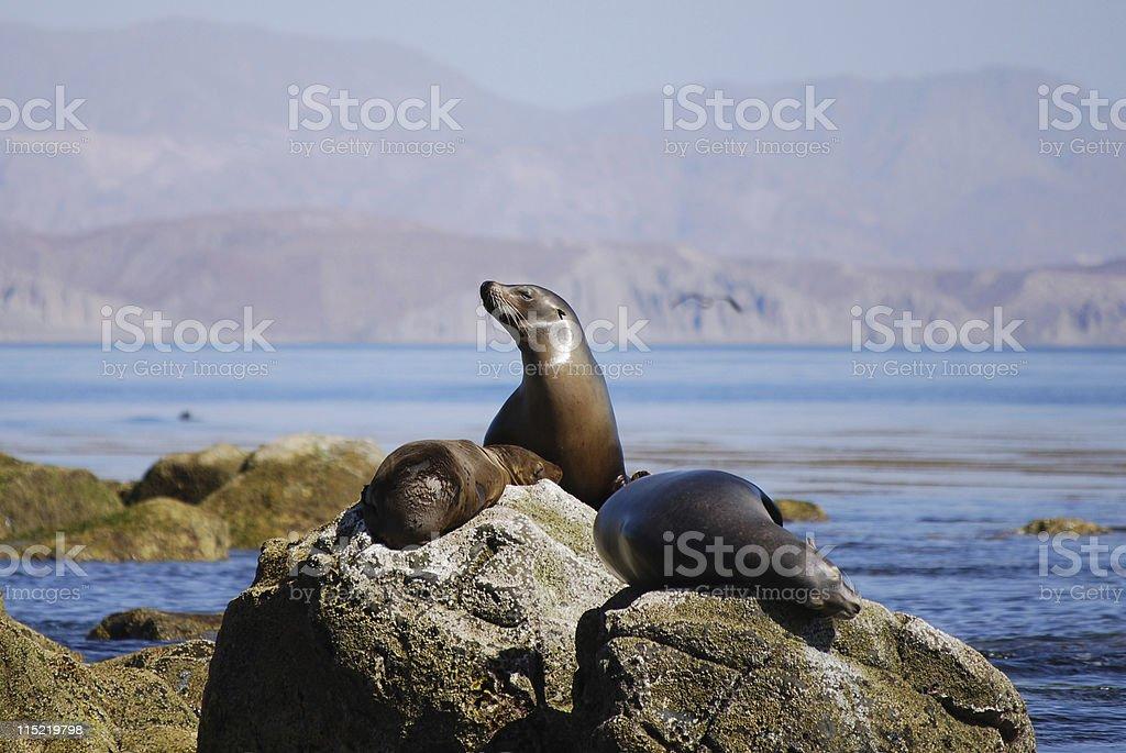 California Sea Lions stock photo