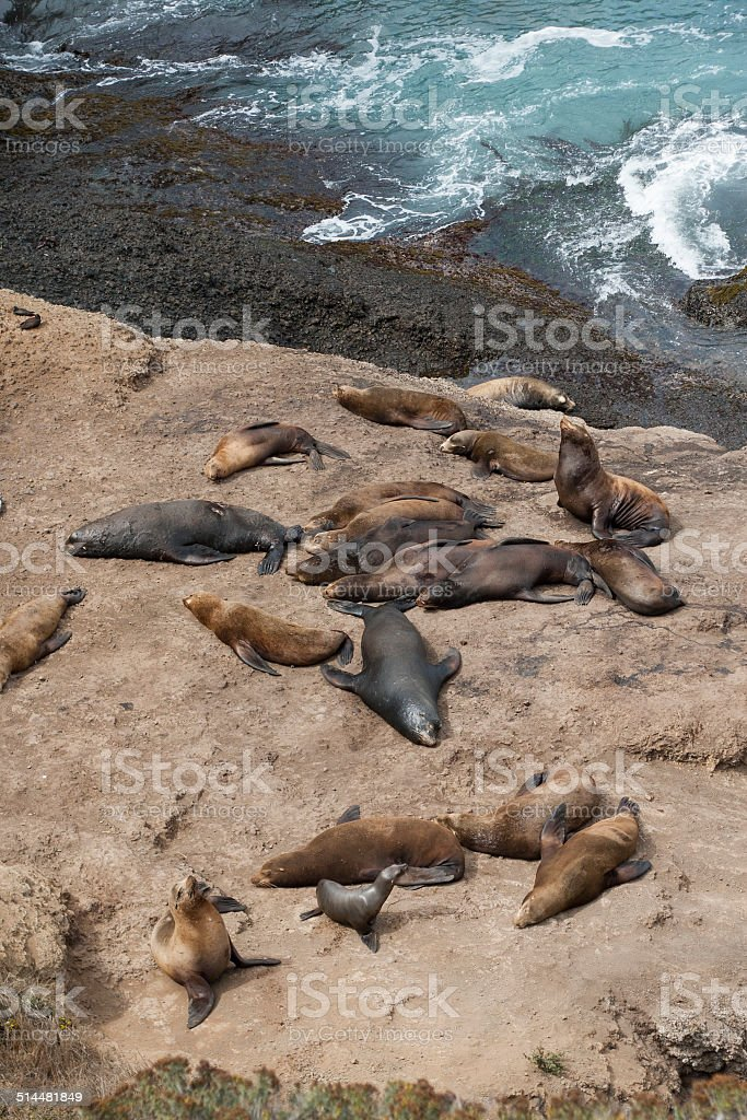 California sea lions resting stock photo