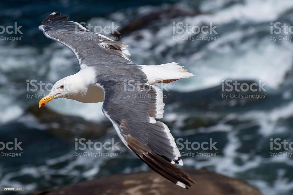 California Seagull stock photo