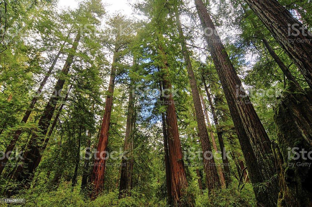 California Sequoia Trees stock photo