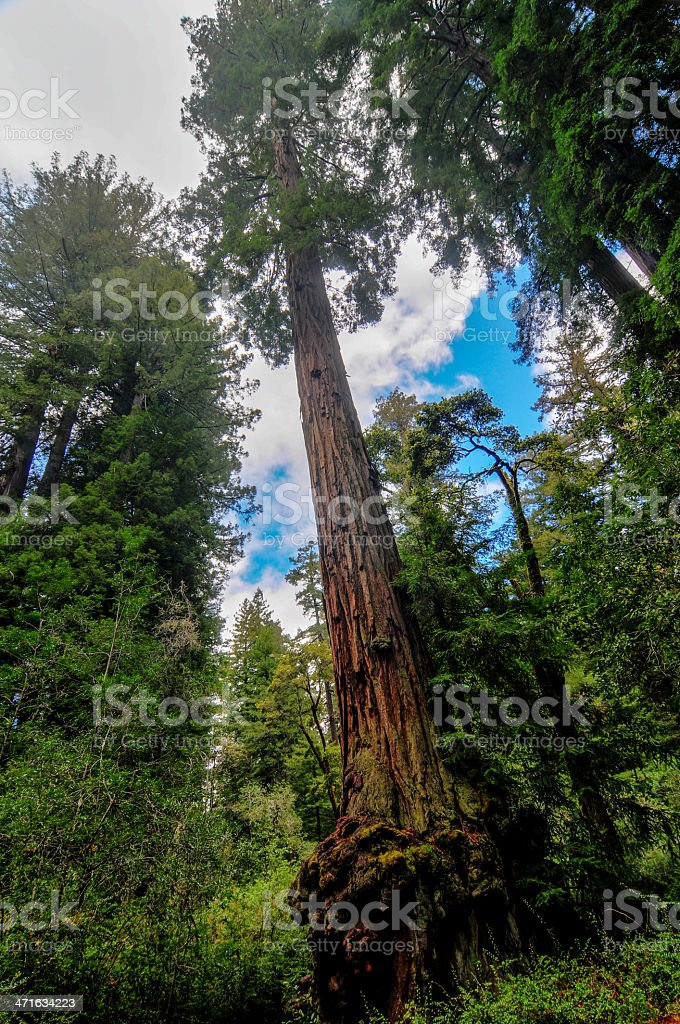 California Sequoia Trees royalty-free stock photo