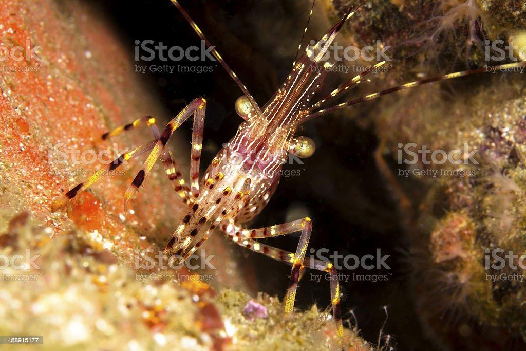 California shrimp stock photo