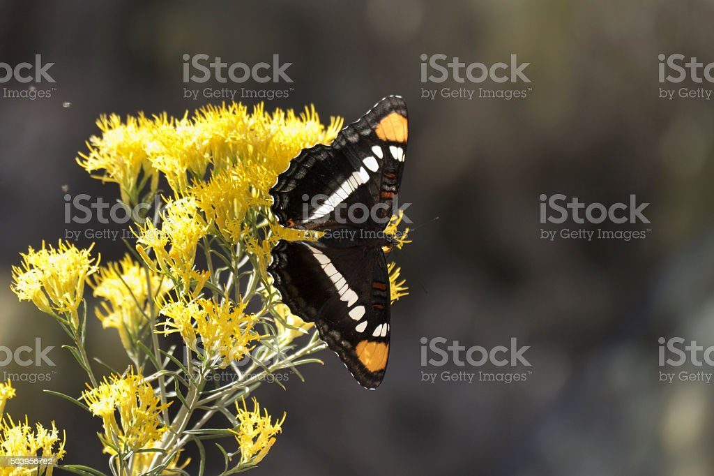 California sister butterfly on rabbit brush Utah copy space stock photo