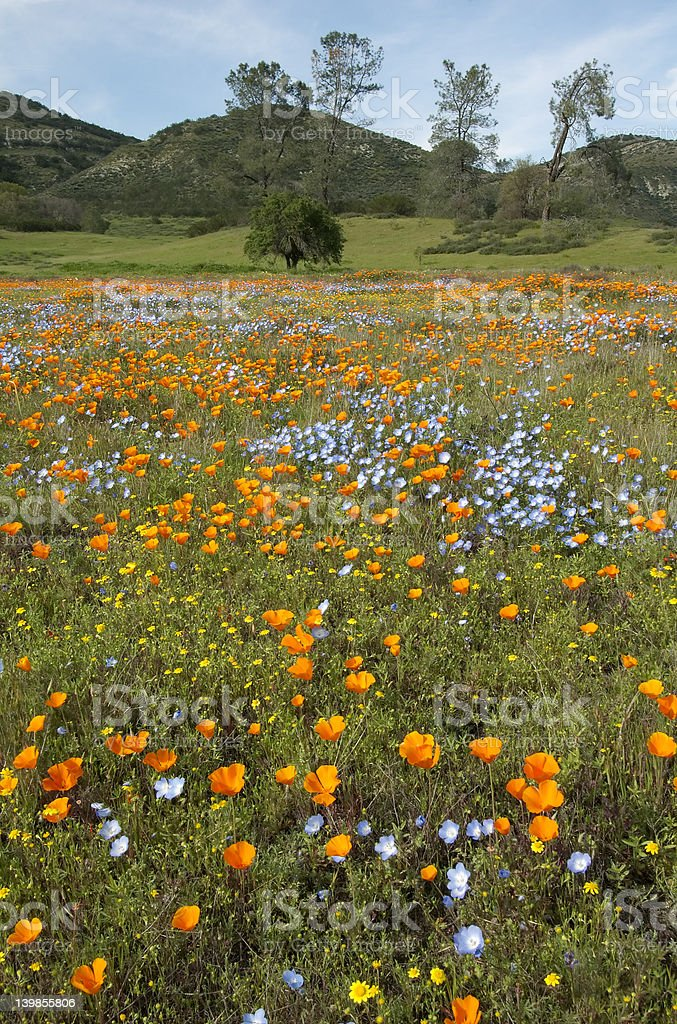 California Spring Wildflowers and Oak Woodland stock photo