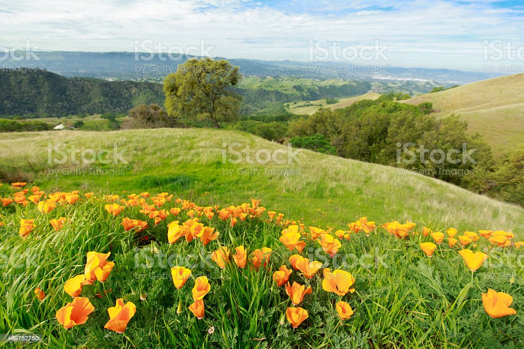 California State Flower Poppies stock photo