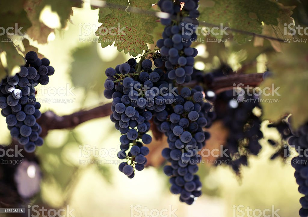 california vineyards royalty-free stock photo