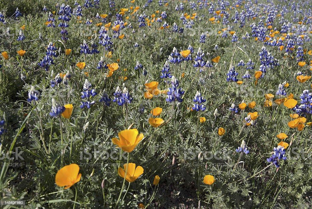 California Wildflowers royalty-free stock photo