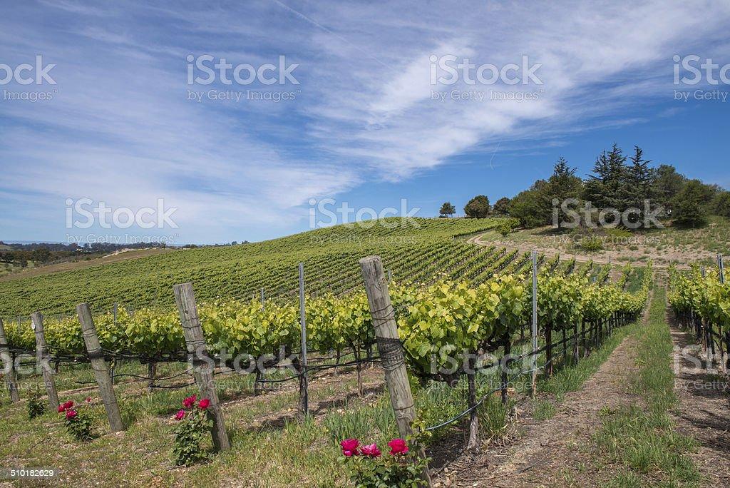 California Wine Vineyard stock photo